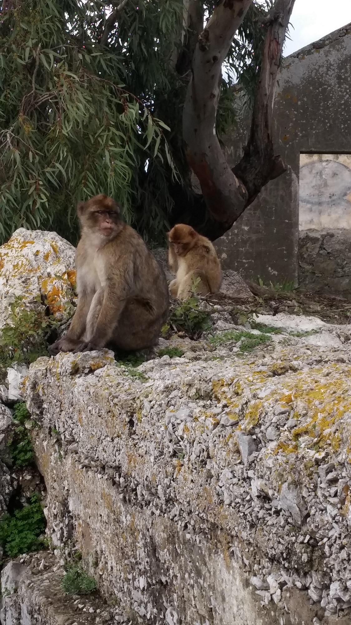 gibraltar singes small